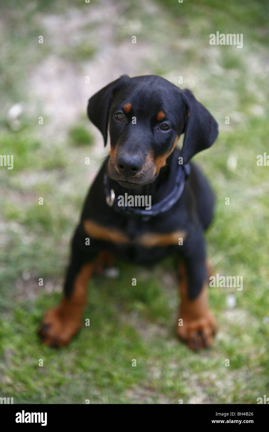 Dobermann Pinscher puppy - Stock Image