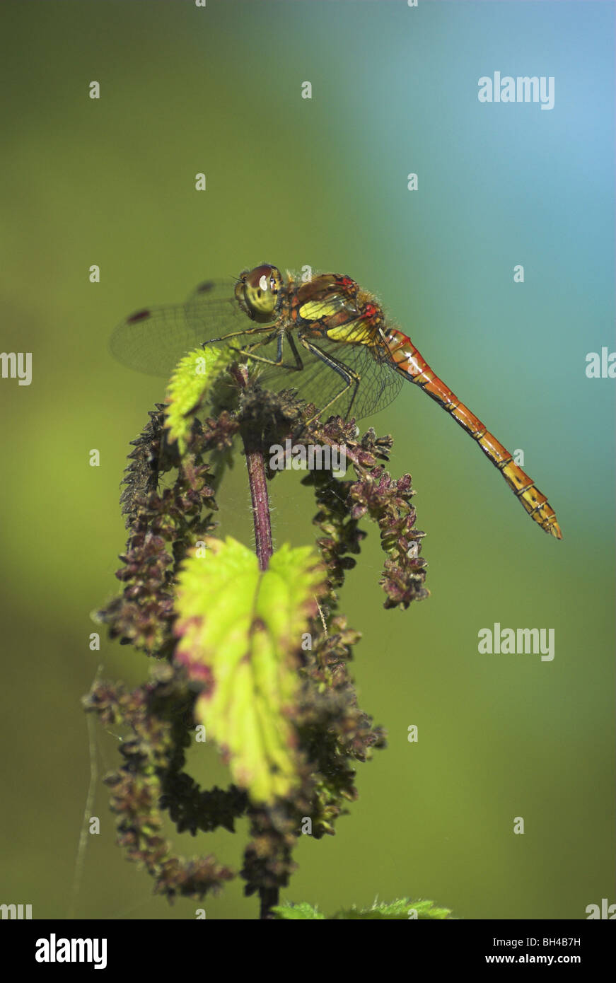 Male common darter dragonfly (sympetrum striolatum) resting on a stinging nettle. Stock Photo