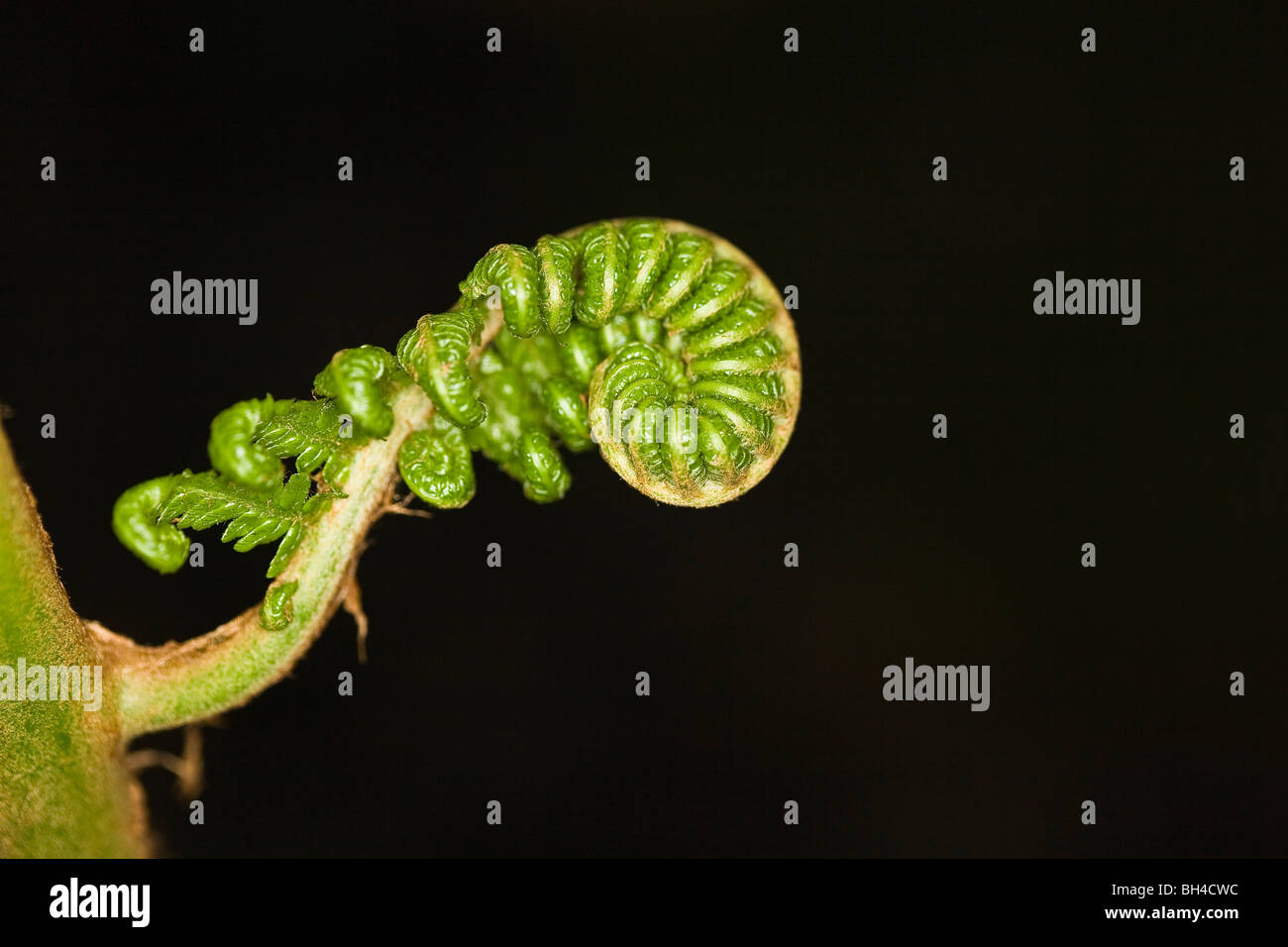 A new, fresh, tender leaf (Matteuccia struthiopteris(L.)todaro) is coming to being in Kew Gardens. - Stock Image