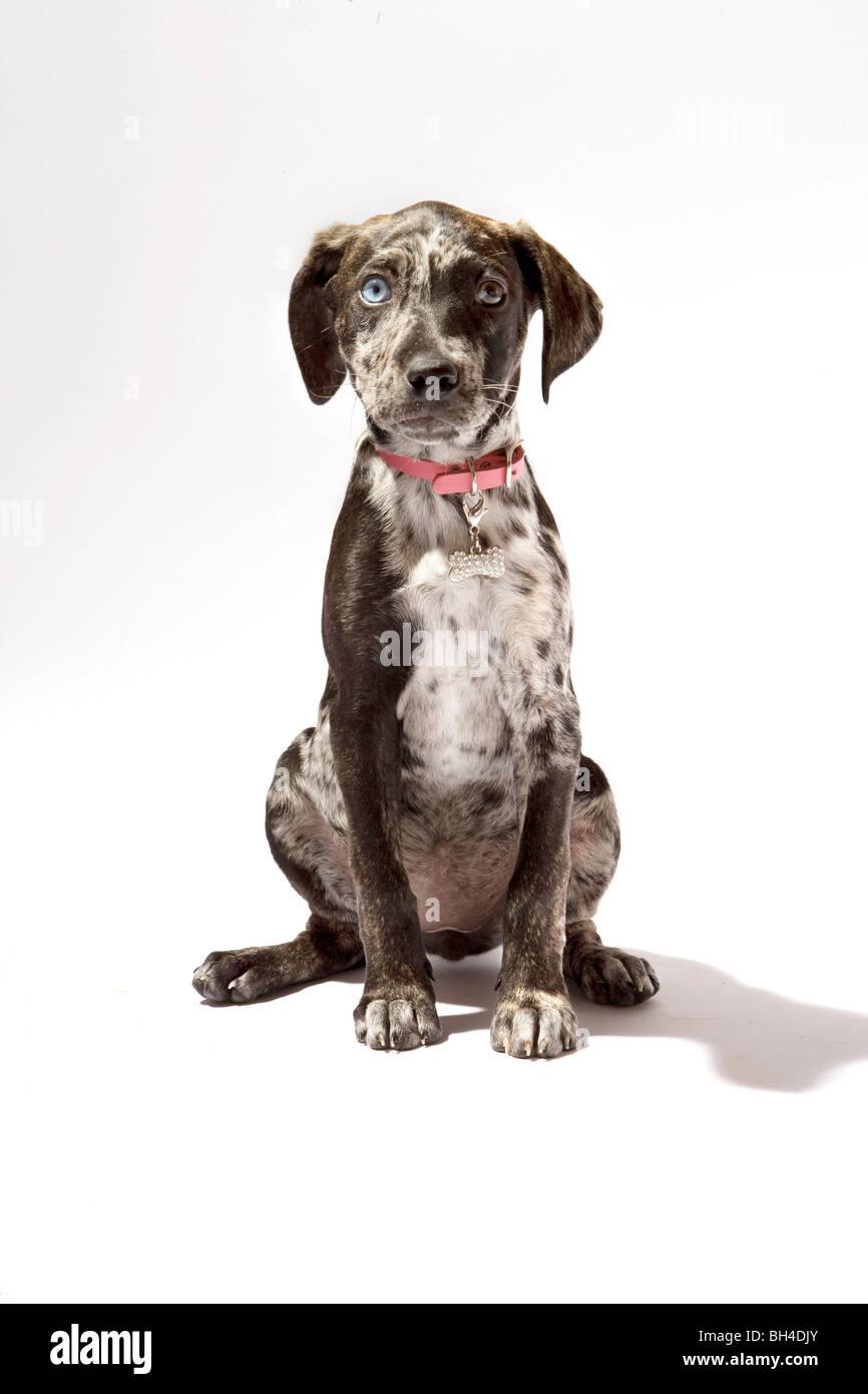 how to train a catahoula leopard dog