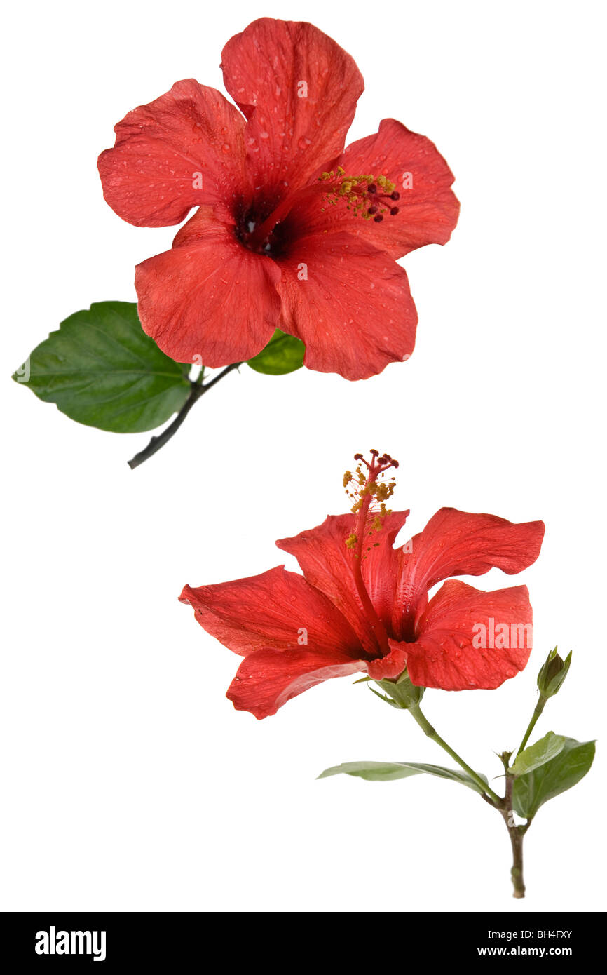 Big red hibiscus flower stock photos big red hibiscus flower stock red hibiscus flower isolated over white stock image izmirmasajfo