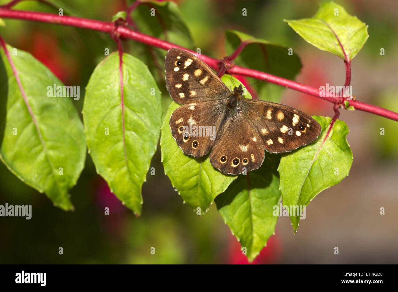 Speckled wood butterfly (pararge aegeria) resting on fuschia bush in September. - Stock Image