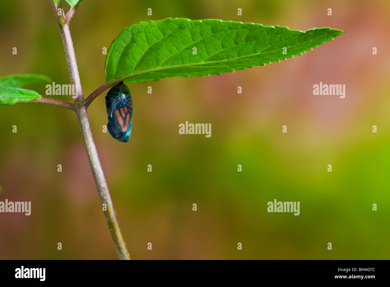Monarch butterfly chrysalis, transparent, end of pupal stage, adult butterfly emerging, Nova Scotia. Series of 4 - Stock Image