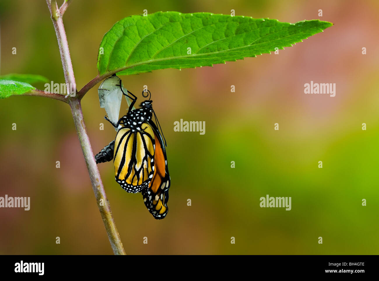 Monarch butterfly emerged from cocoon, empty chrysalis, pumping meconium from abdomen into wings, Nova Scotia. Series - Stock Image
