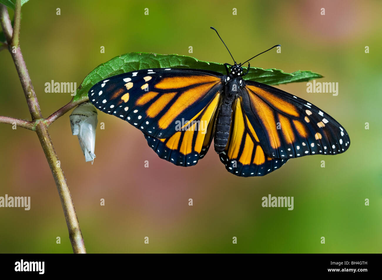 Monarch butterfly adult emerged from cocoon, on leaf beside empty chrysalis drying wings, Nova Scotia. Series of - Stock Image
