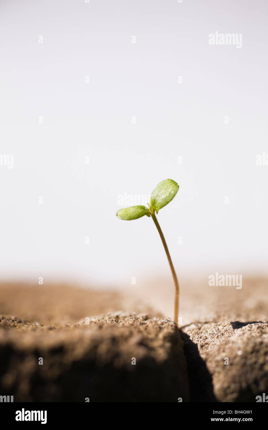 Close-up of tree seedling emerging through crack between two paving stones, Laval, Quebec - Stock Image