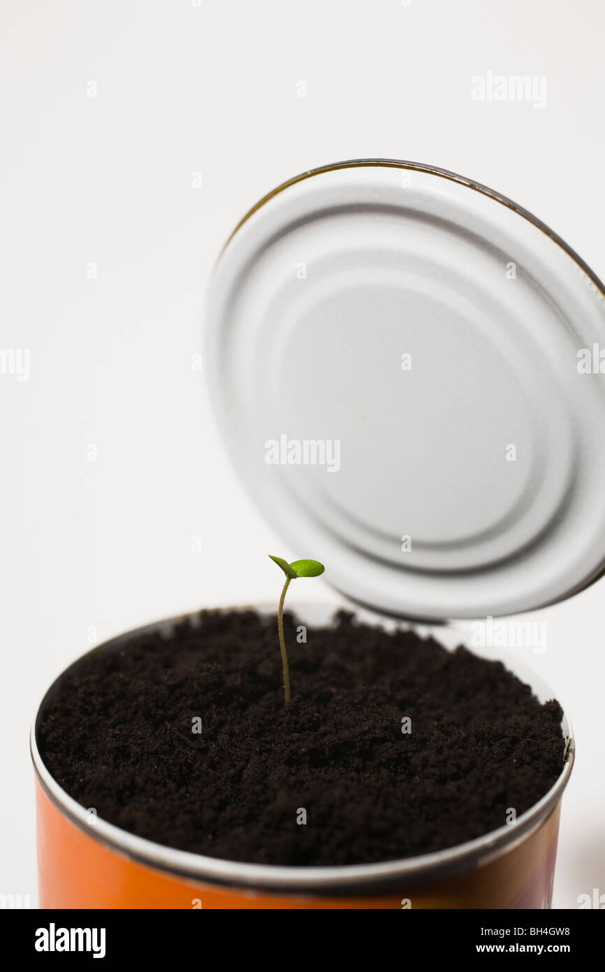 Tree seedling emerging through soil in tin can - Stock Image