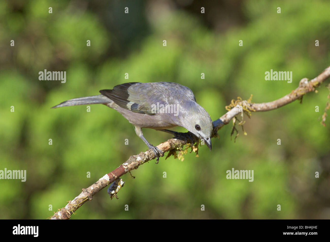Palm tanager (Thraupis palmarum) focussed on something on the ground. Stock Photo