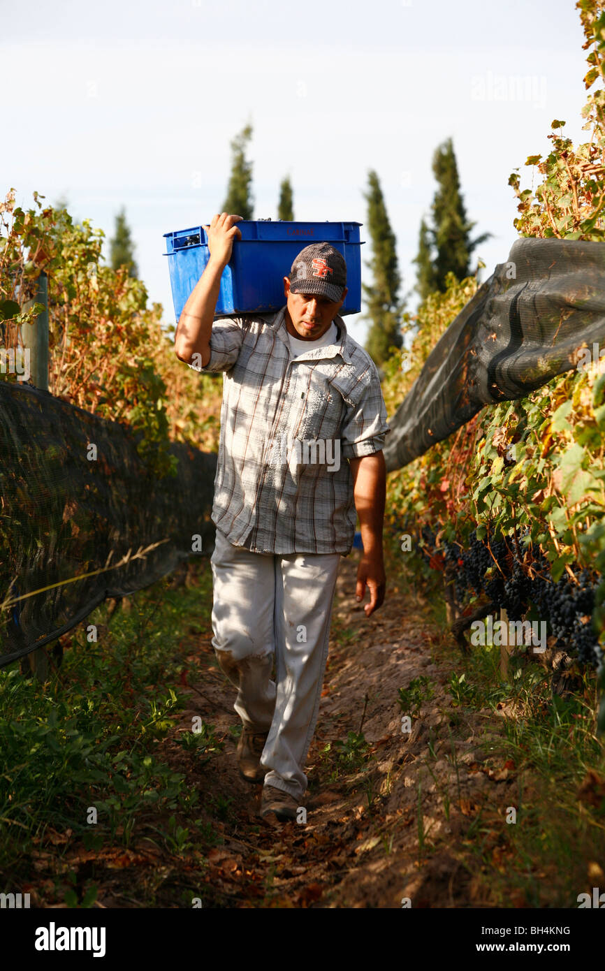 Man working at the vineyard during the harvest time, Mendoza, Argentina. - Stock Image
