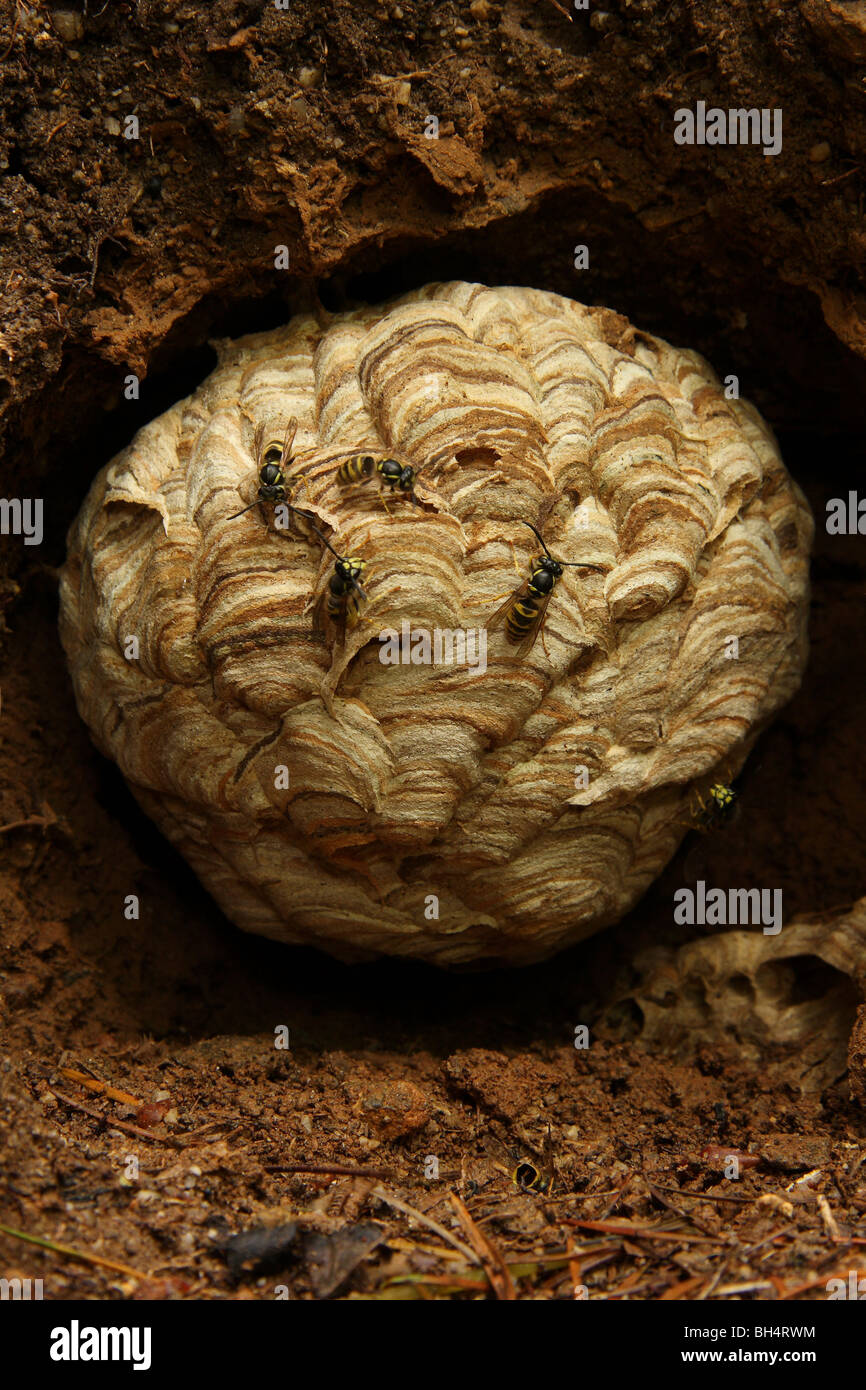 Nest of the common wasp built in a hole in an earth bank in woodland. - Stock Image