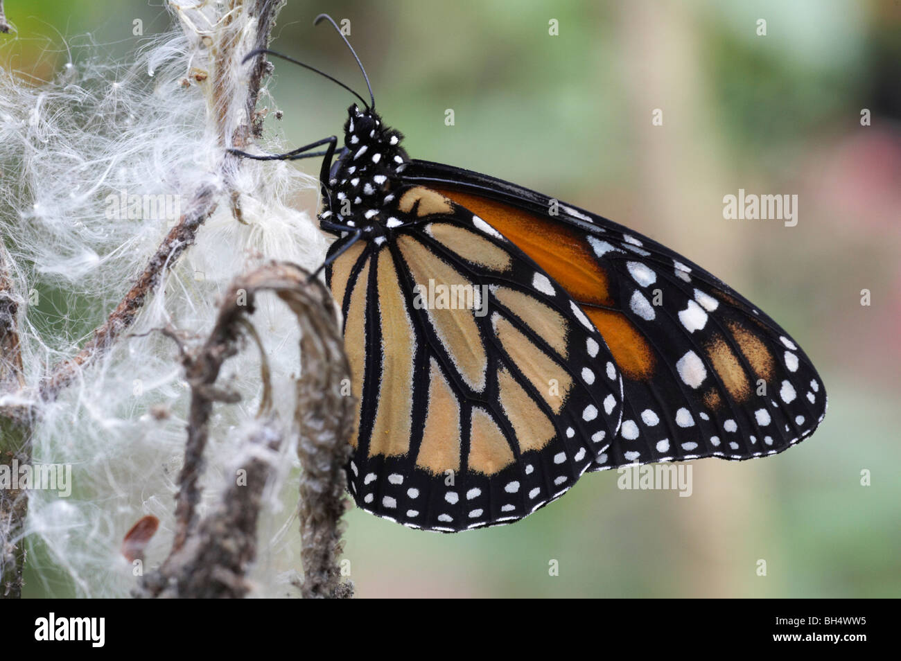 Monarch (Danaus plexippus) butterfly resting on seedhead in September at Mindo. - Stock Image