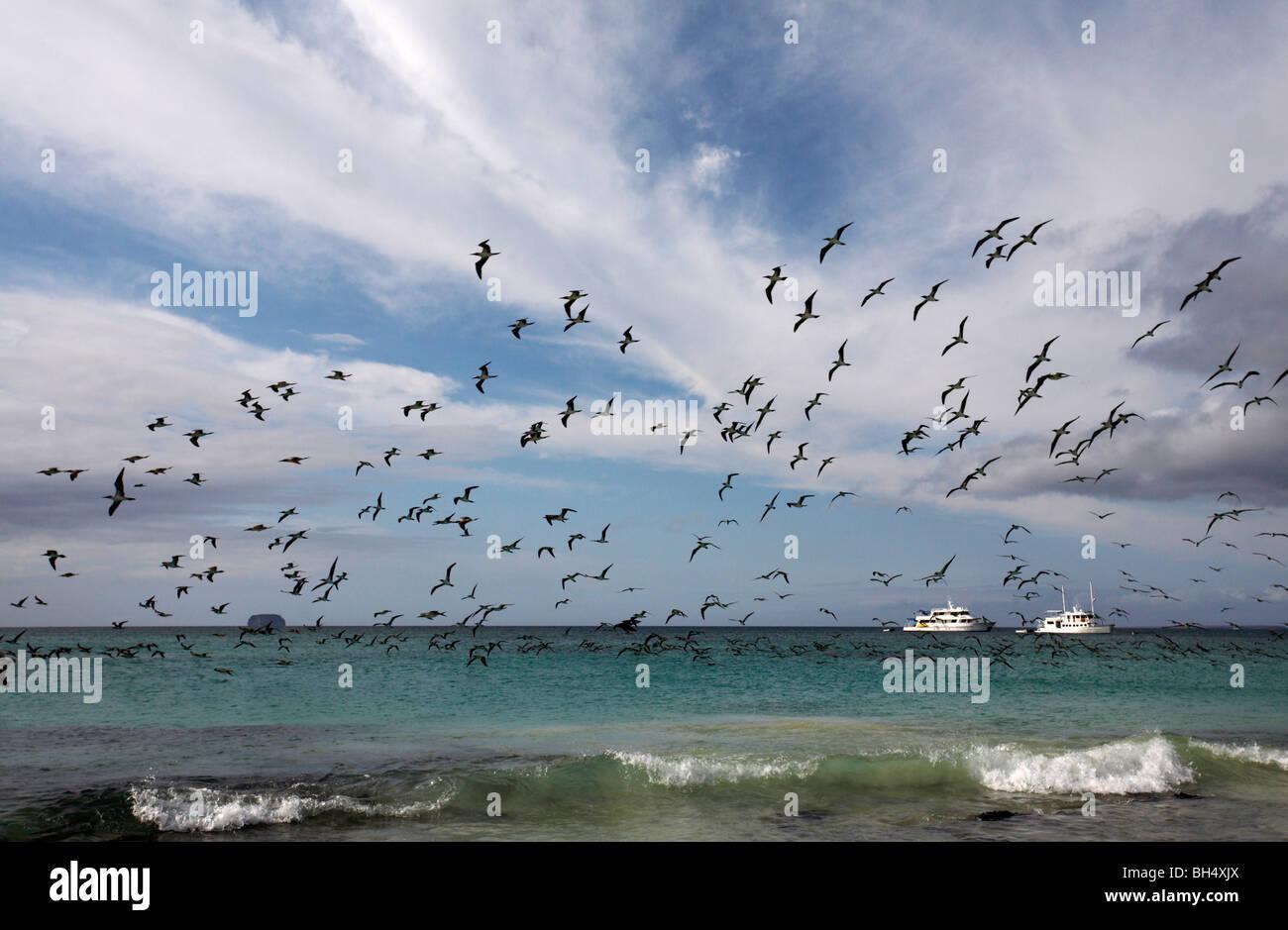 Flocks of blue footed boobies (Sula nebouxii excisa) flying over the seashore at Bachas Beach, Santa Cruz Island. - Stock Image