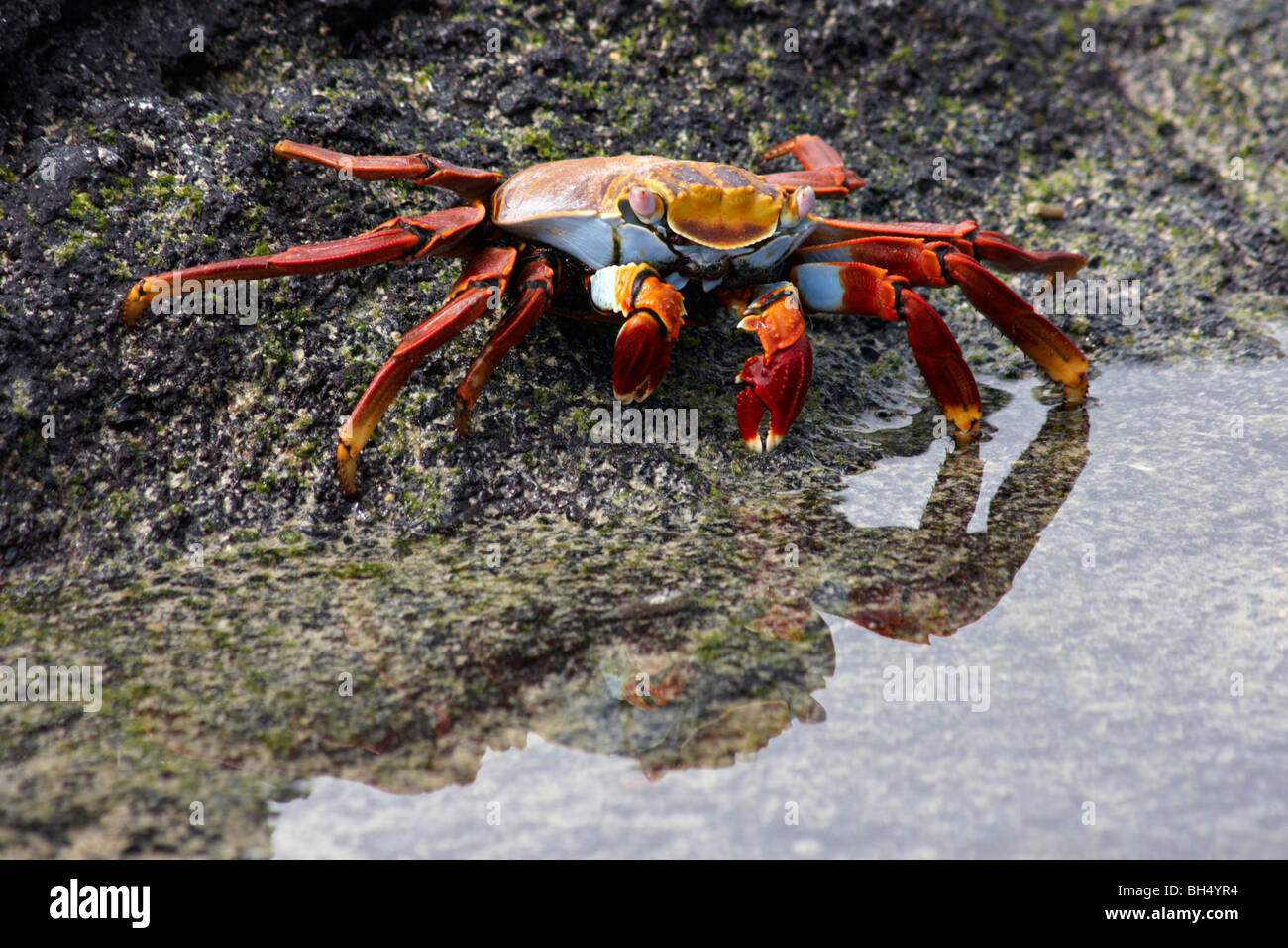 Sally lightfoot crab (Grapsus grapsus) heading for the sea at Elizabeth Bay, Isabela Island. - Stock Image