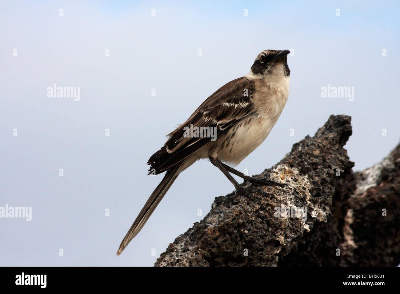 Mockingbird (Nesomimus parvulus) stood on rocks at Darwin Bay Beach, Genovesa, Galapagos, Ecuador in September - Stock Image