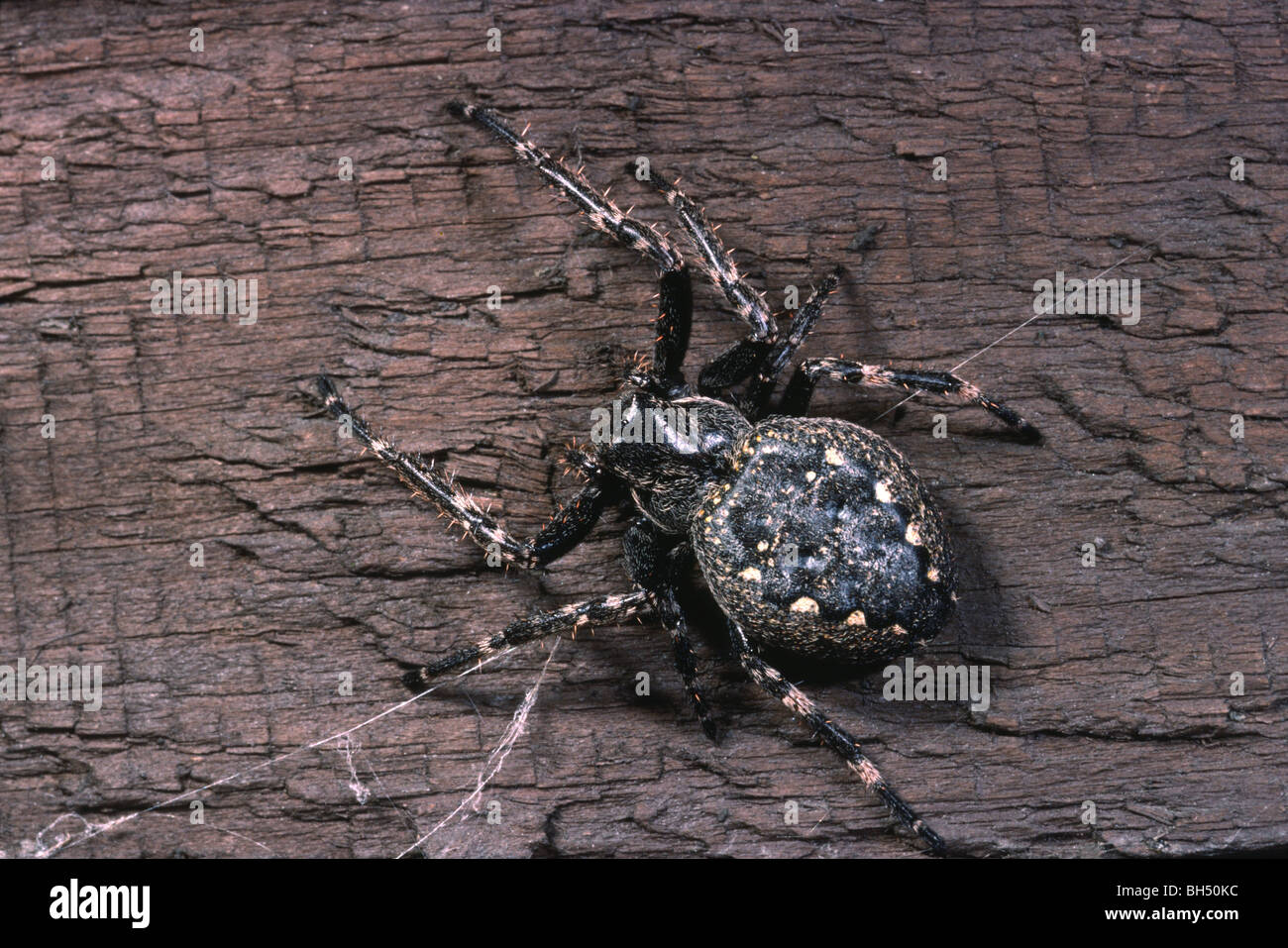 Close-up of a spider (Nuctanea umbratica) resting on a garden fence. - Stock Image