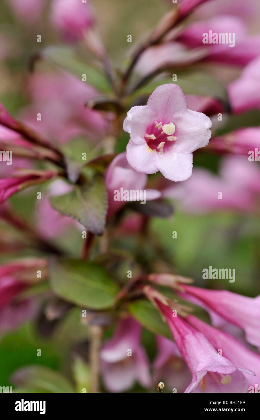 Weigela florida 'Purpurea' - Stock Image