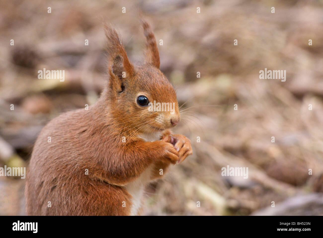 Red squirrel (Sciurius vulgaris) feeding head and shoulders. - Stock Image