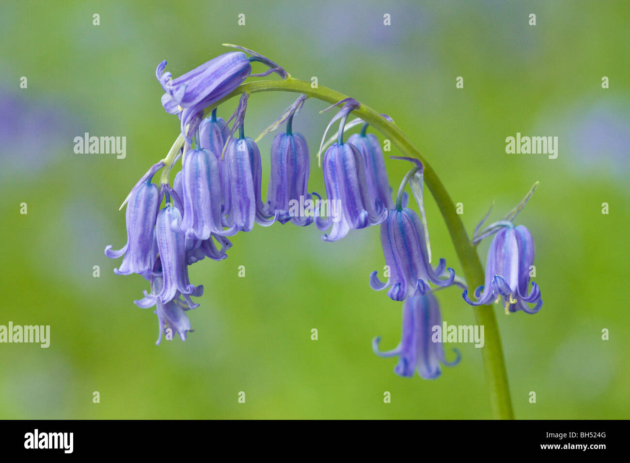 Bluebells (Hyacynthoides or Endymion non-scripta). - Stock Image