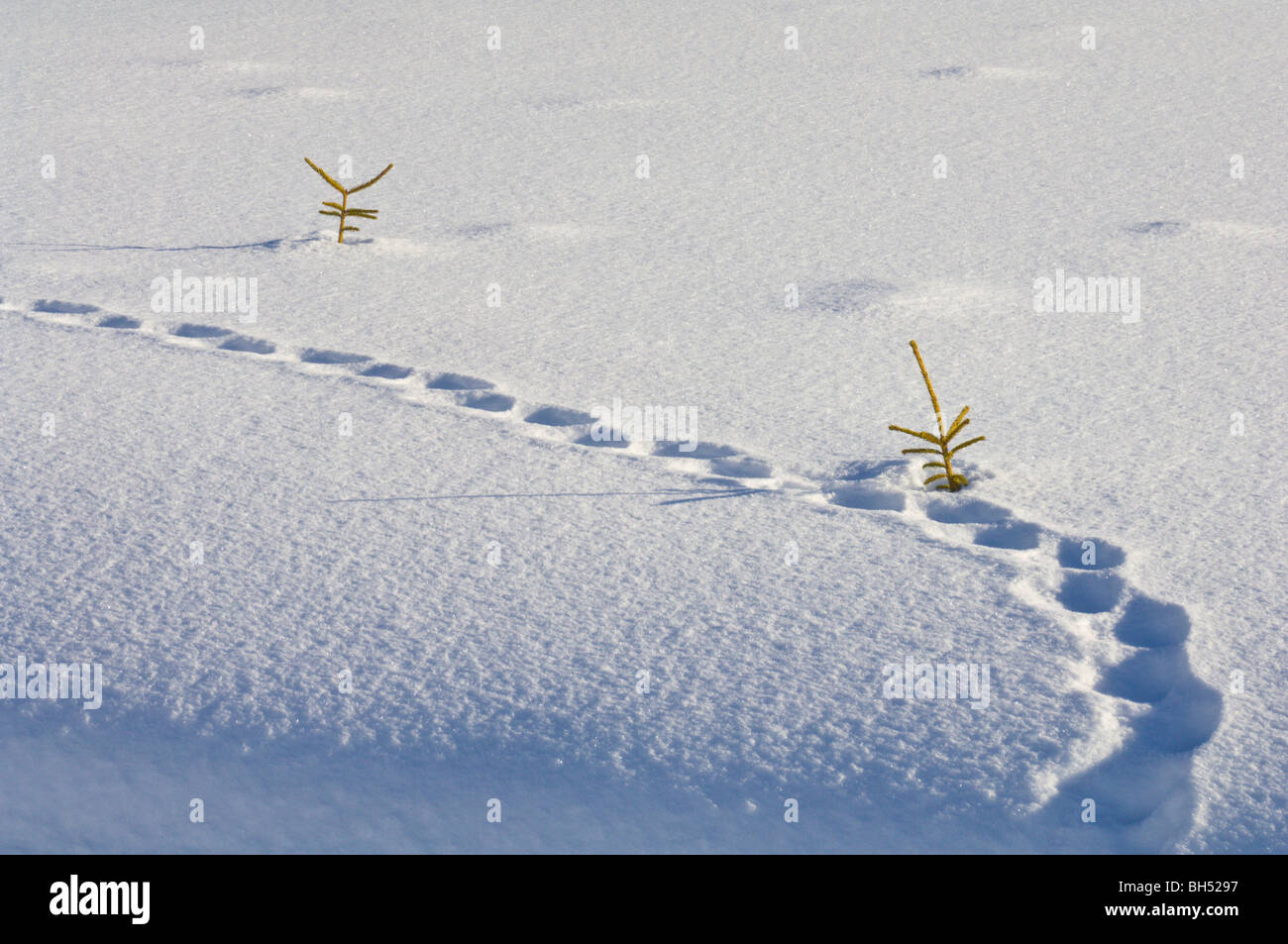 Animal tracks and conifer tree tops in deep snow. - Stock Image
