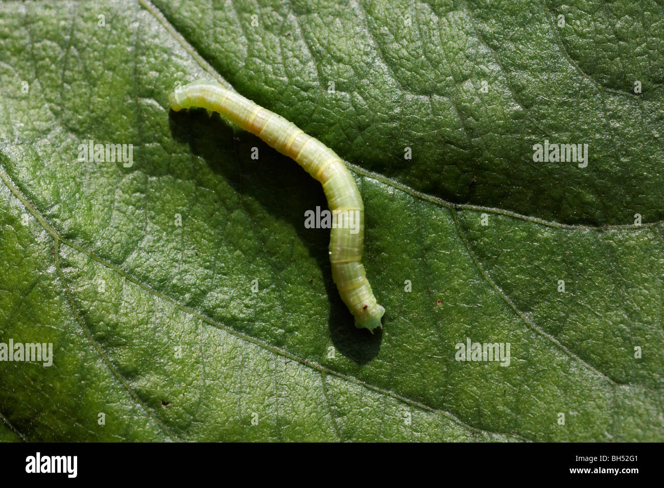 Speckled wood butterfly caterpillar (pararge aegeria) resting on leaf in August. - Stock Image