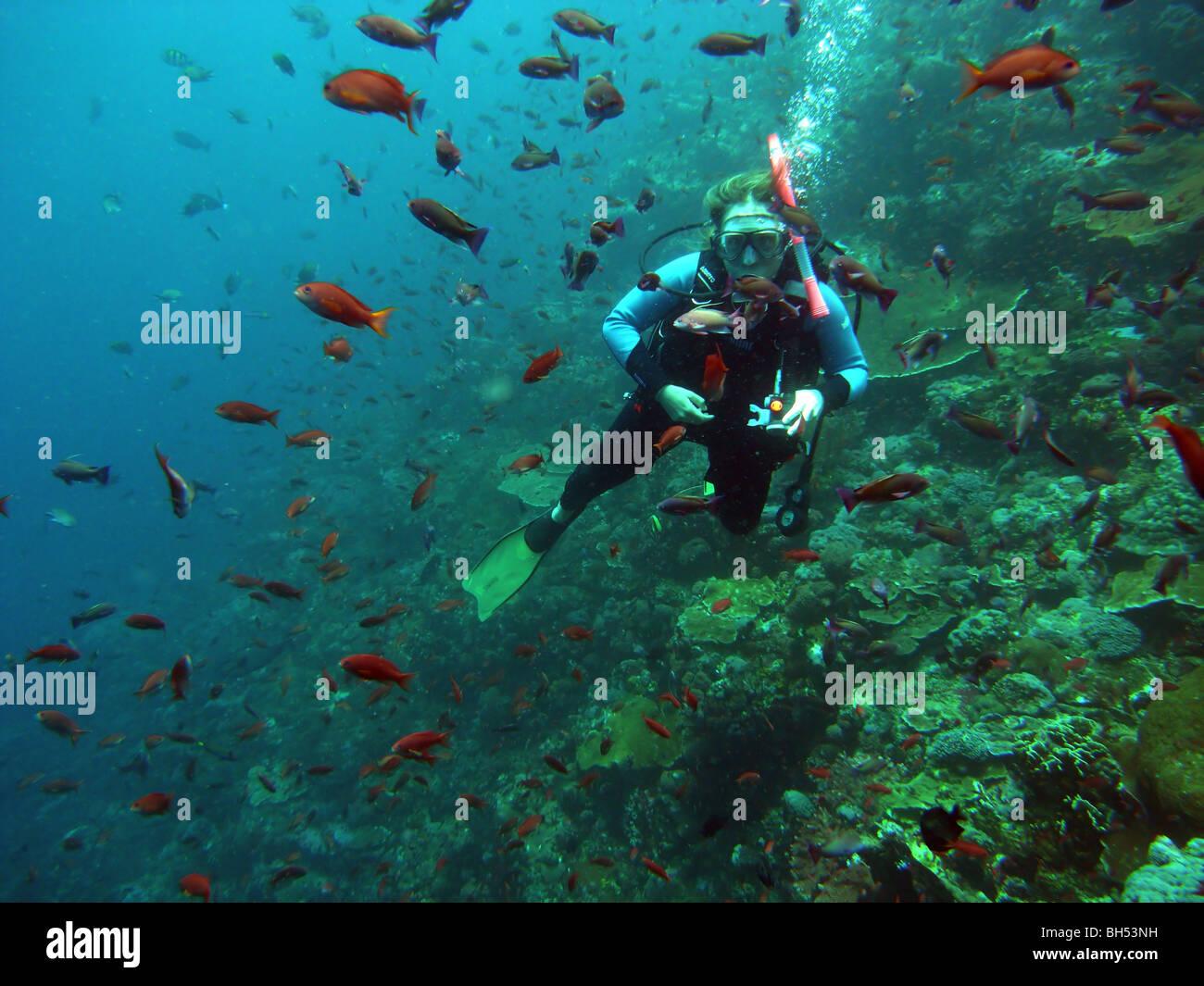 Scuba diver amongst schools of anthias fish, Komodo Marine Park, Indonesia. No MR or PR Stock Photo