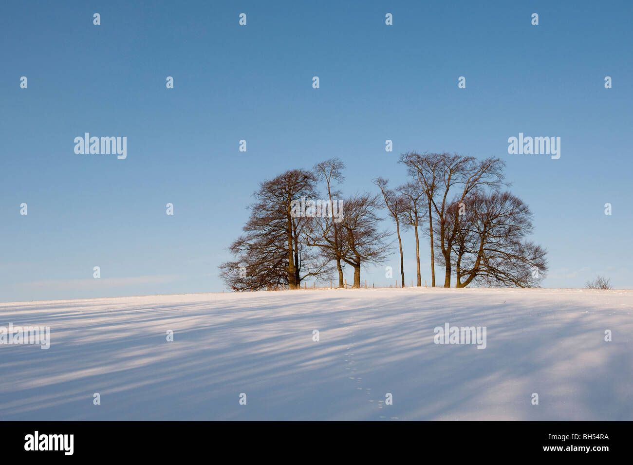 A clump of beech trees on snow covered Pinnacle Hill, on the Chiltern Hills near Hitchin, Herts - Stock Image