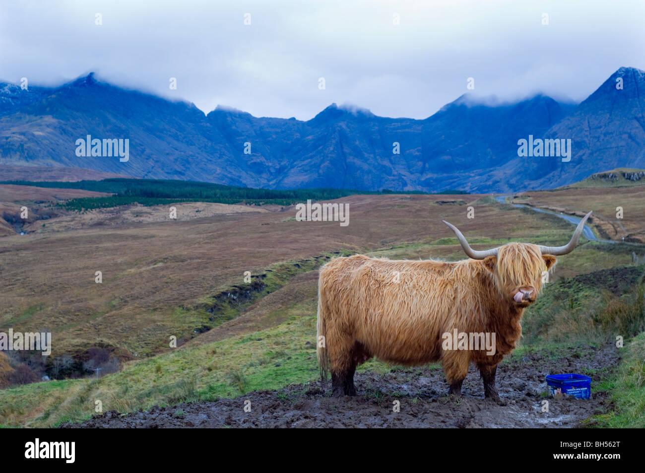 Highland cow feeding at a mineral lick. Behind is the Coire na Creiche area of the Black Cuillin ridge, Isle of - Stock Image