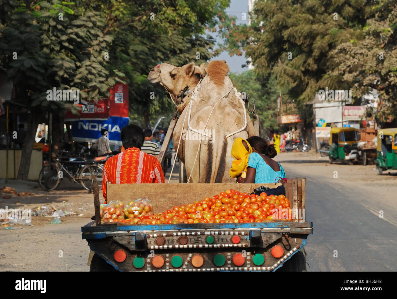 Camel drawn cart carrying tomatoes in Ahmedabad, India. - Stock Image