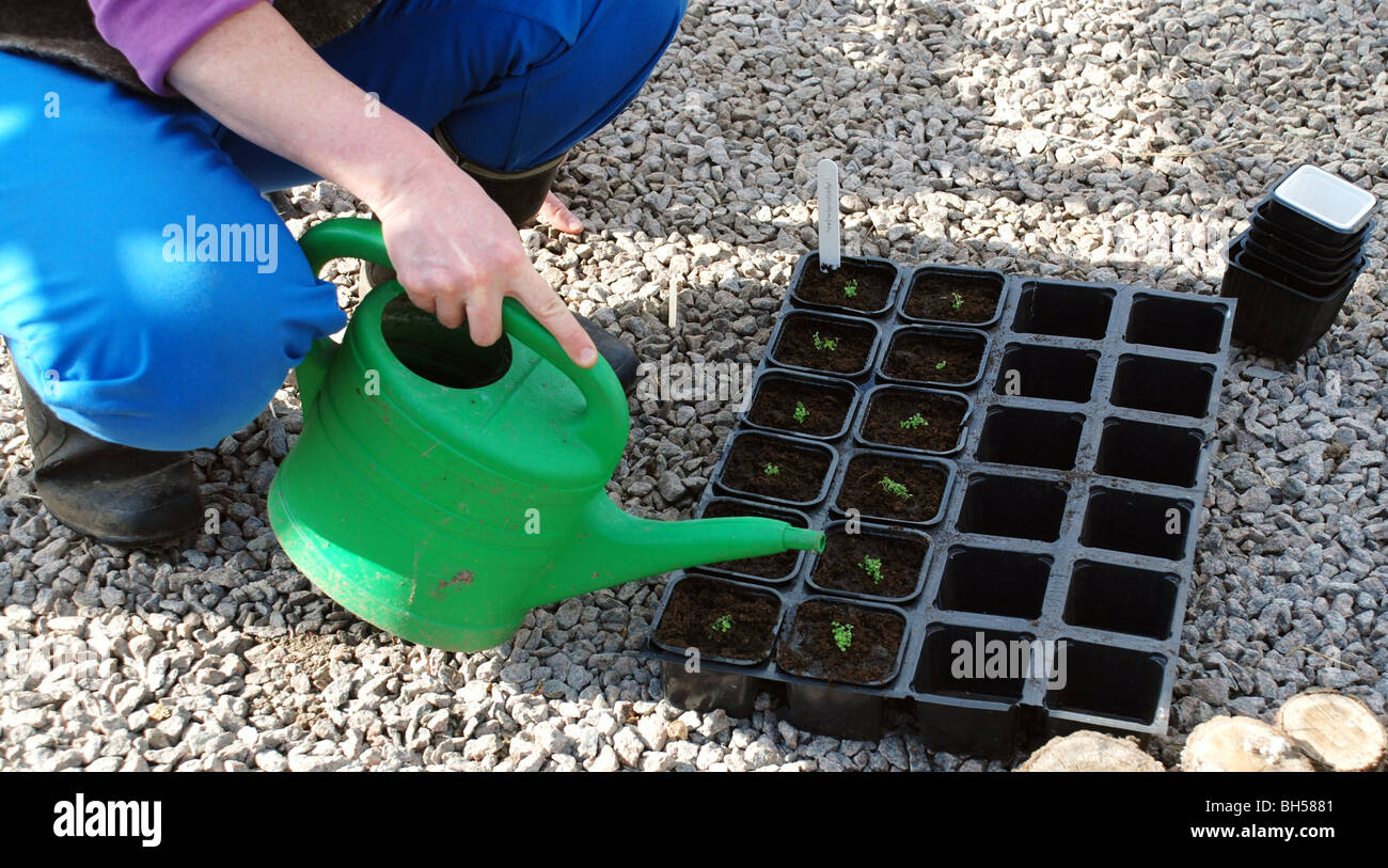 Giving plants water with a water pot - Stock Image