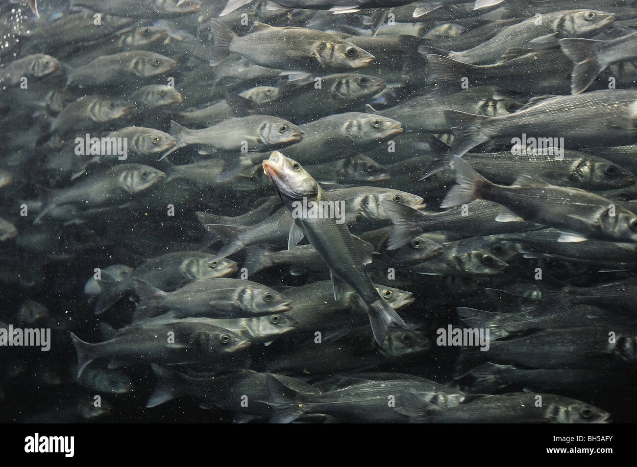 Fish swimming against the shoal - Stock Image