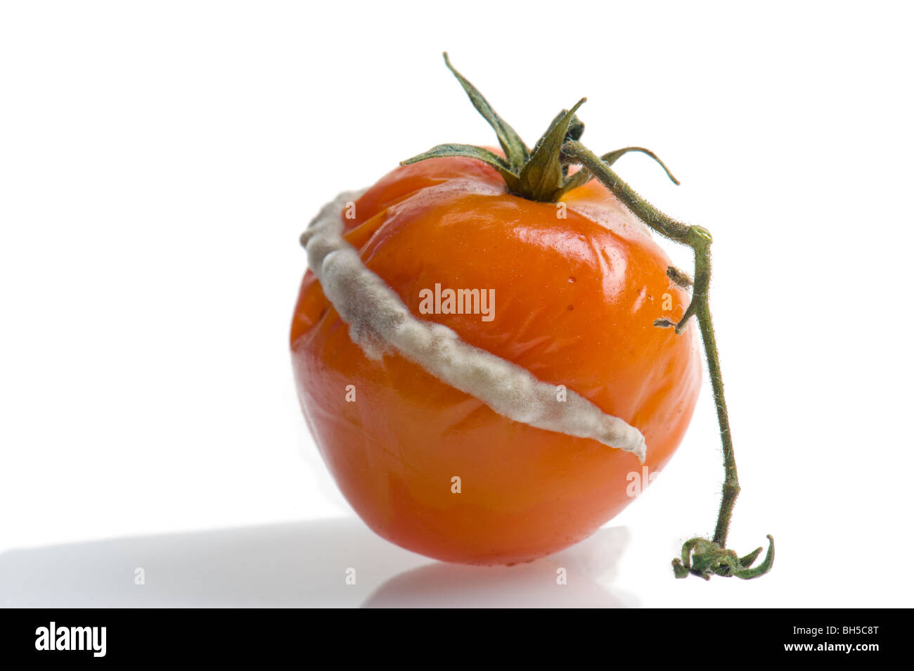 POWDERY MILDEW on tomato must mould funghi fungus mould DISEASE DISORDER FUNGAL MILDEW MOULD POWDERY PROBLEM penicillin - Stock Image