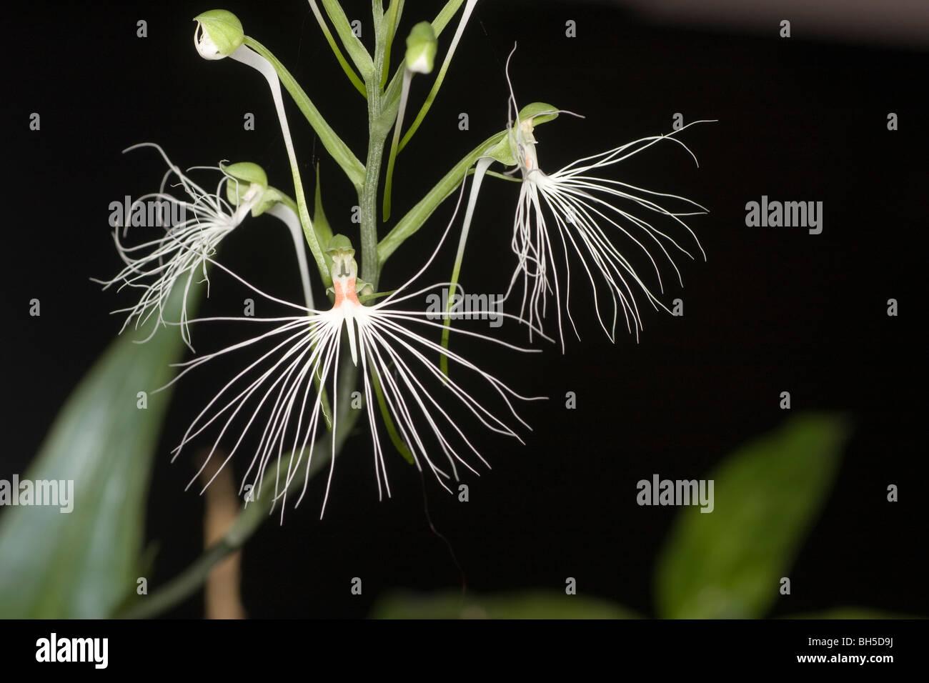 Habenaria medusa syn. Habenaria myriotricha flowers and buds endemic  to Java, Sumatra, Sulawesi  and Borneo. Stock Photo