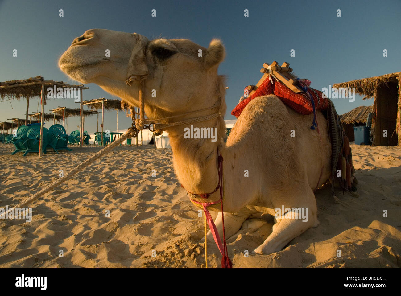 Close up, wide-angle landscape shot of a camel sitting in the sand with warm sunset lighting. - Stock Image