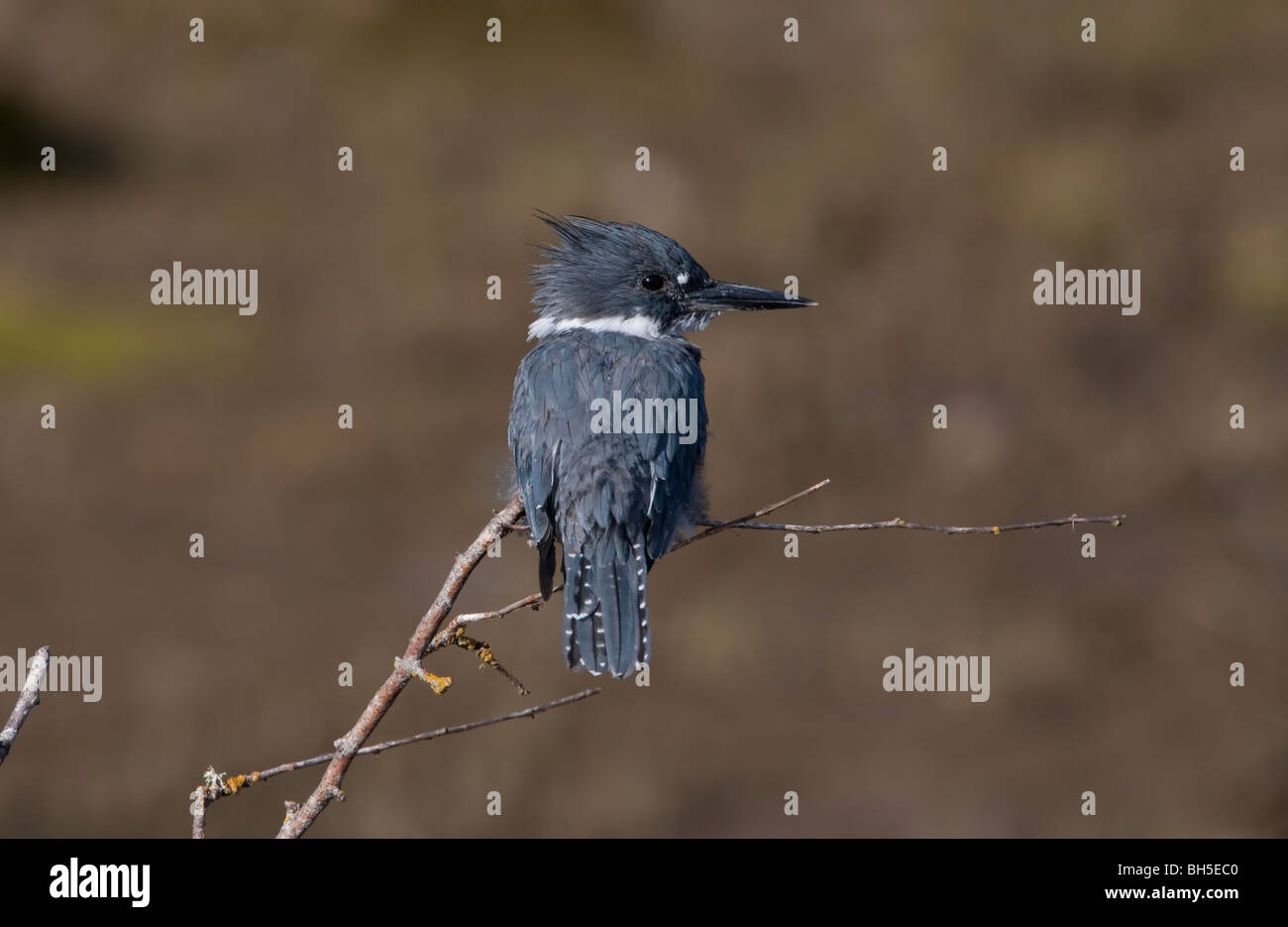 Belted Kingfisher Megaceryle alcyon perched on small branch overlooking estuary at French Creek Vancouver Island - Stock Image