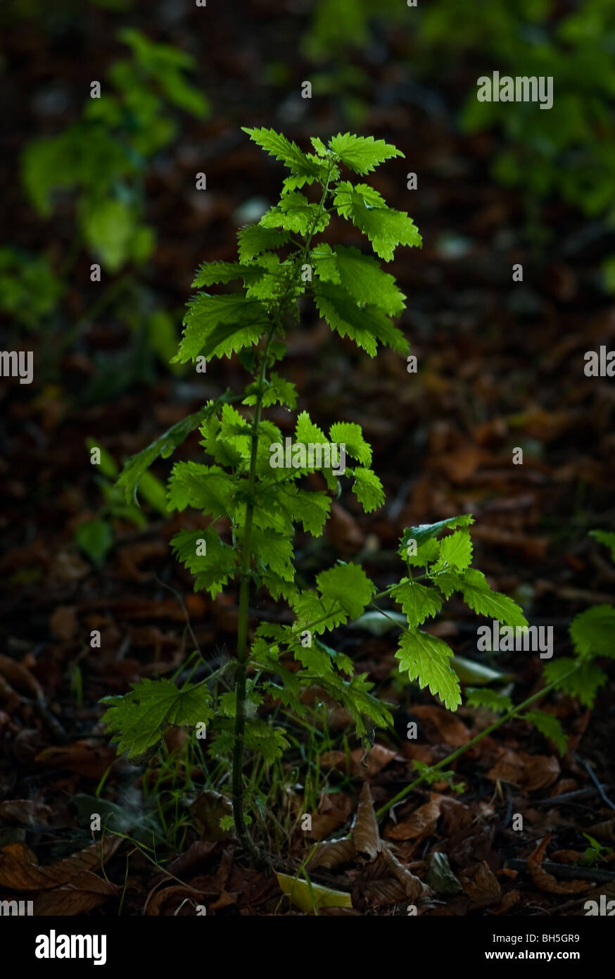 A nettle in a forest clearing - Stock Image