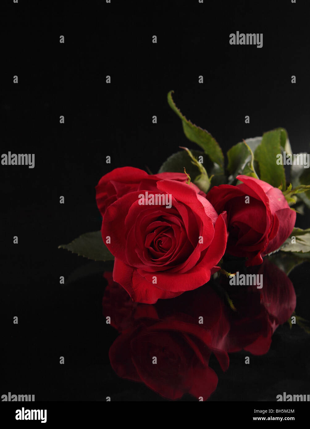 Red Roses on a  black background - Stock Image
