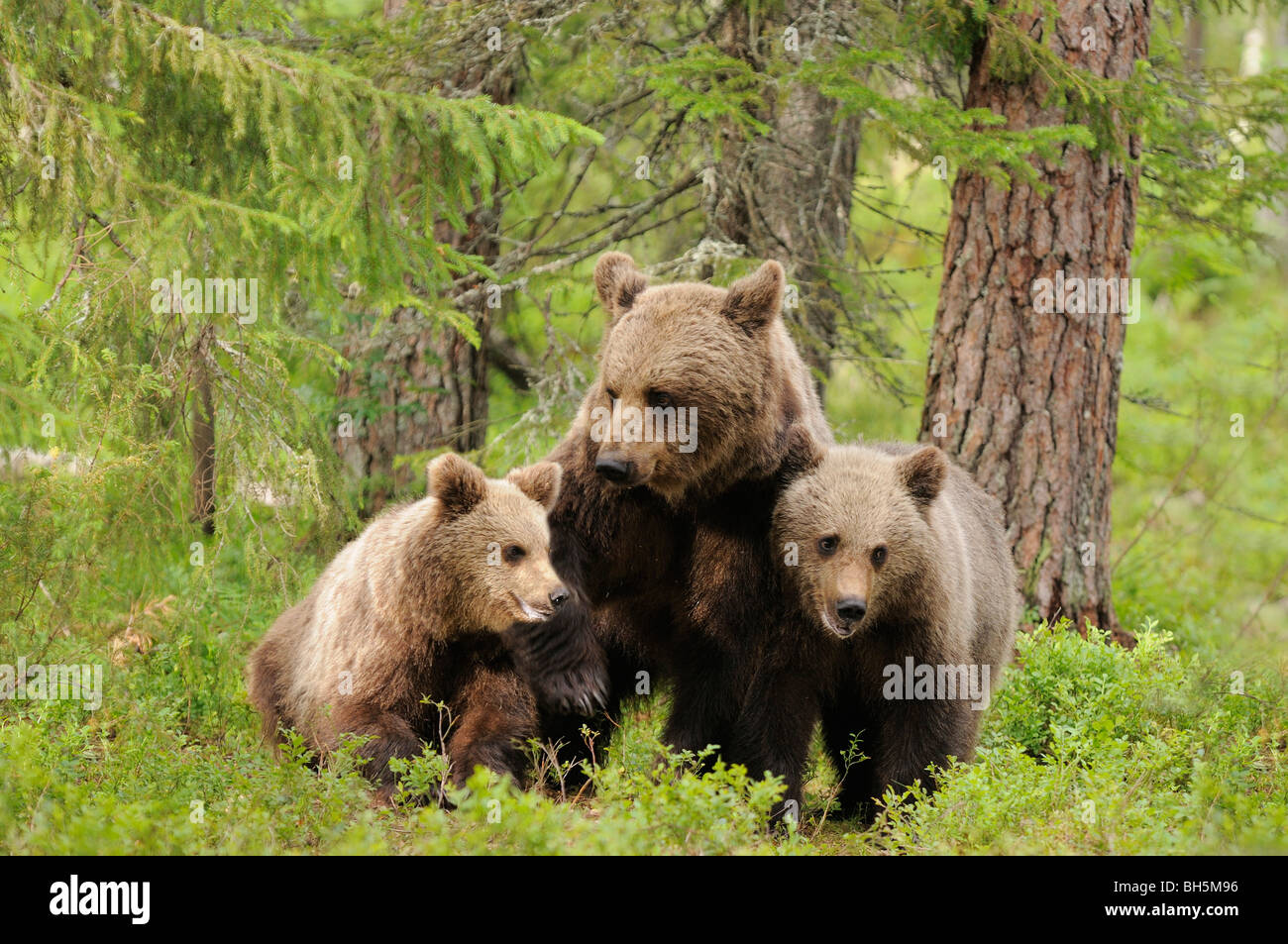 European Brown Bear Ursos arctos Mother and 1 year old  cubs Photographed in  the wild Finland - Stock Image