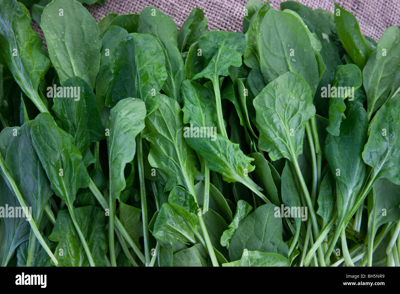 Spinach 'Baby Spinach' (Spinacia oleracea). - Stock Image