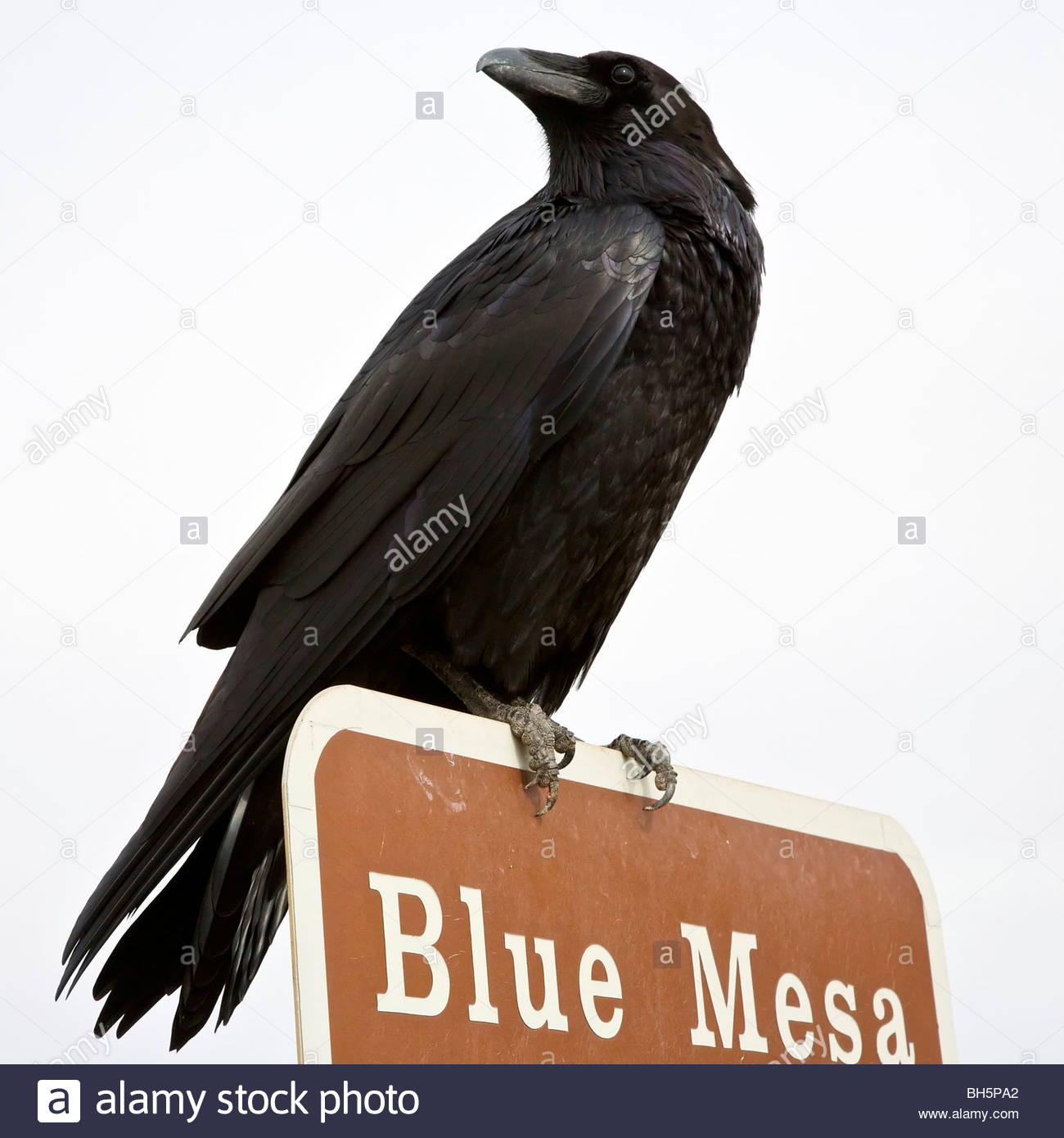Common Raven (Corvus corax) perched on top of a sign post in the Pained Desert, Arizona. - Stock Image