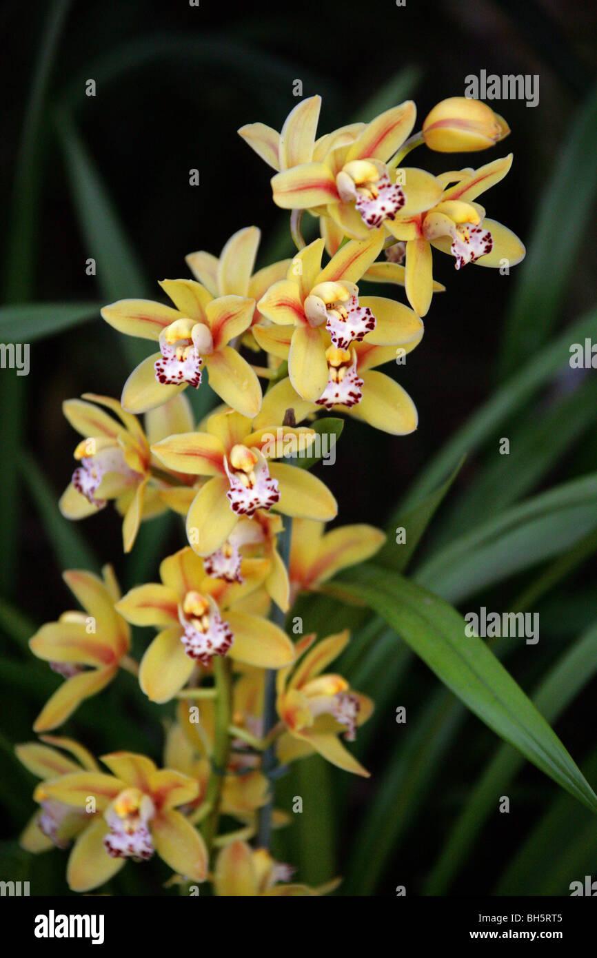 Cymbidium Hybrid Orchid, Orchidaceae - Stock Image