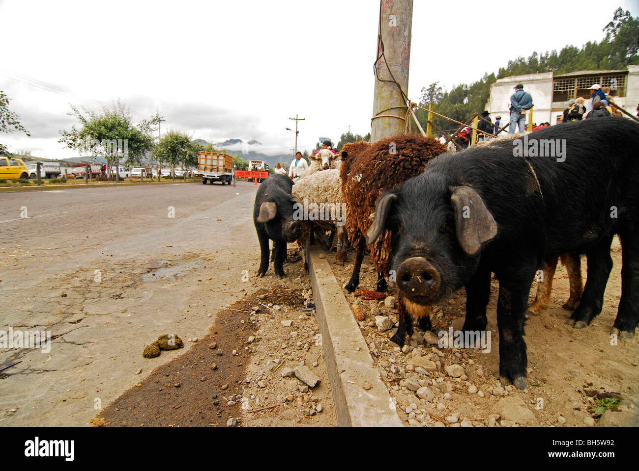 Ecuador, Otavalo, view of a curious black pig standing amid brown sheeps and other pigs tied up to a wooden electrical - Stock Image