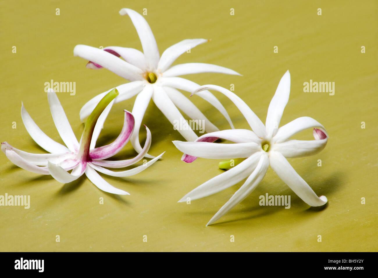 Jasmine flowers on green background - Stock Image
