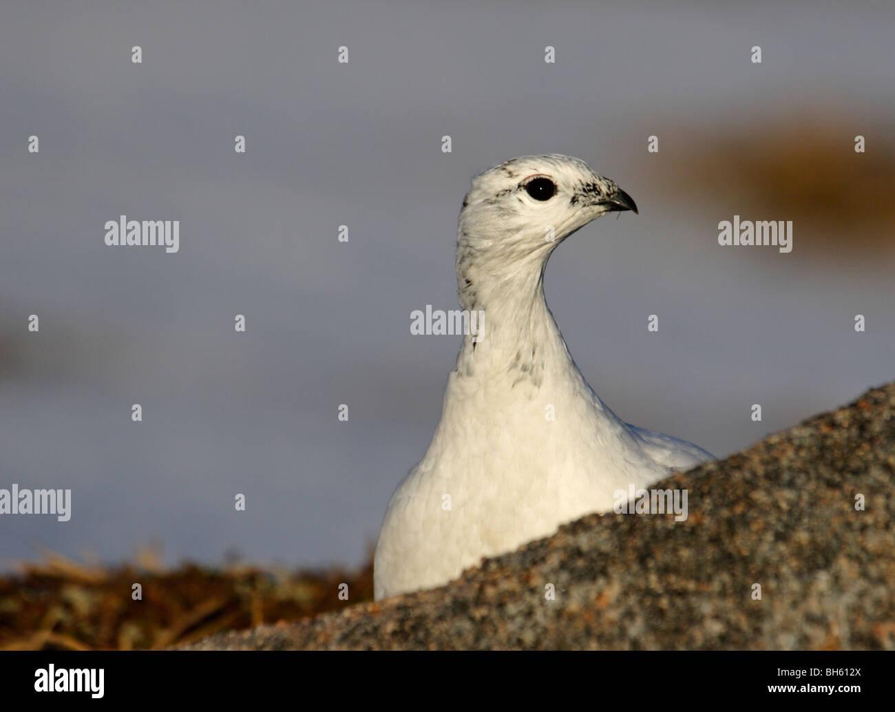 Ptarmigan (Lagopus mutus) in winter plumage peering from behind rock in morning sunlight. - Stock Image
