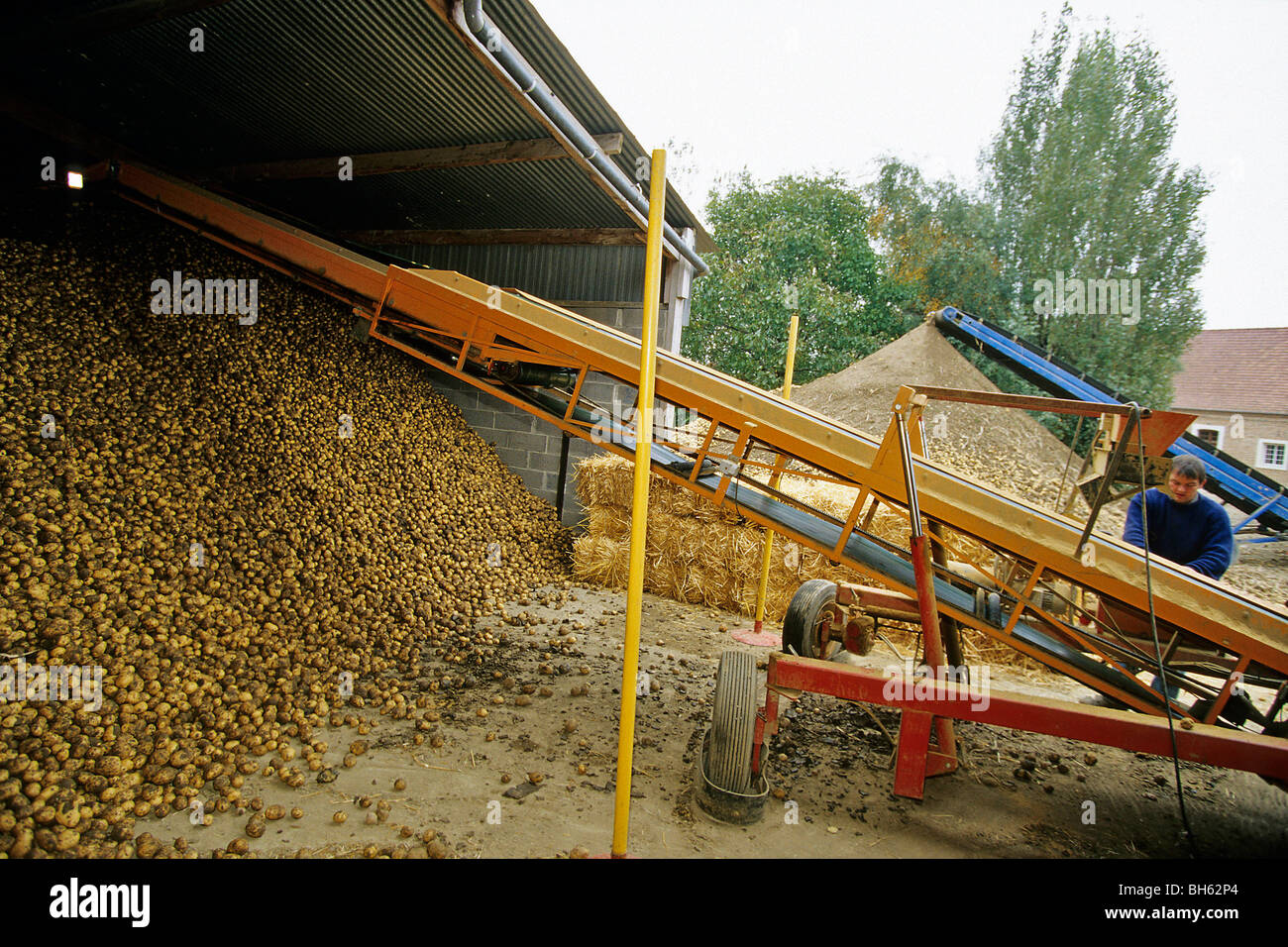 SORTING AND STORING POTATOES AT THE FARM AFTER THE HARVEST, NORTHERN FRANCE - Stock Image