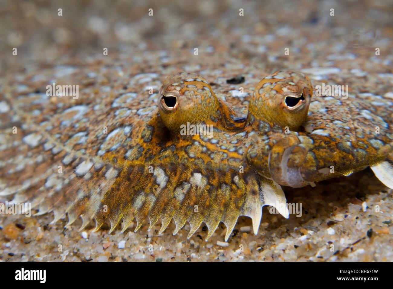 Mediterranean Sole, Monchirus hispidus, Tamariu, Costa Brava, Mediterranean Sea, Spain - Stock Image