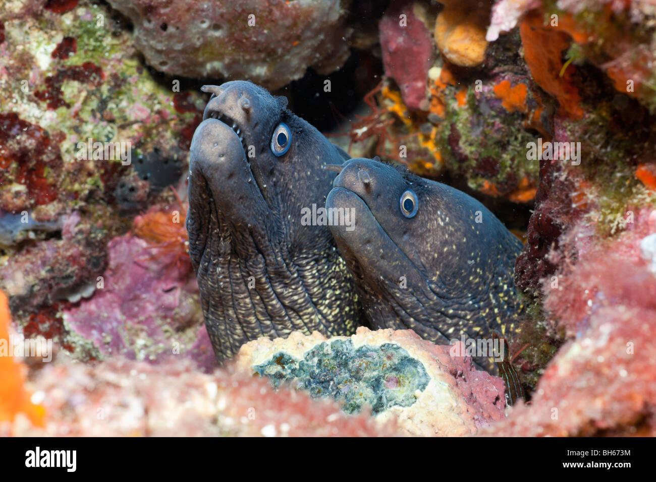 Couple of Mediterranean Moray, Muraena helena, Tamariu, Costa Brava, Mediterranean Sea, Spain Stock Photo