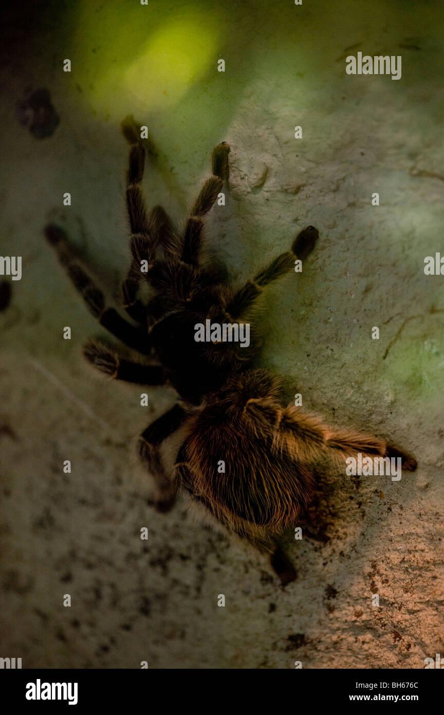 Large tarantula crawling on rock Stock Photo