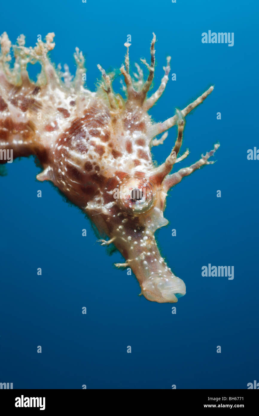 Portrait of Longsnouted Seahorse, Hippocampus ramulosus, Tamariu, Costa Brava, Mediterranean Sea, Spain - Stock Image
