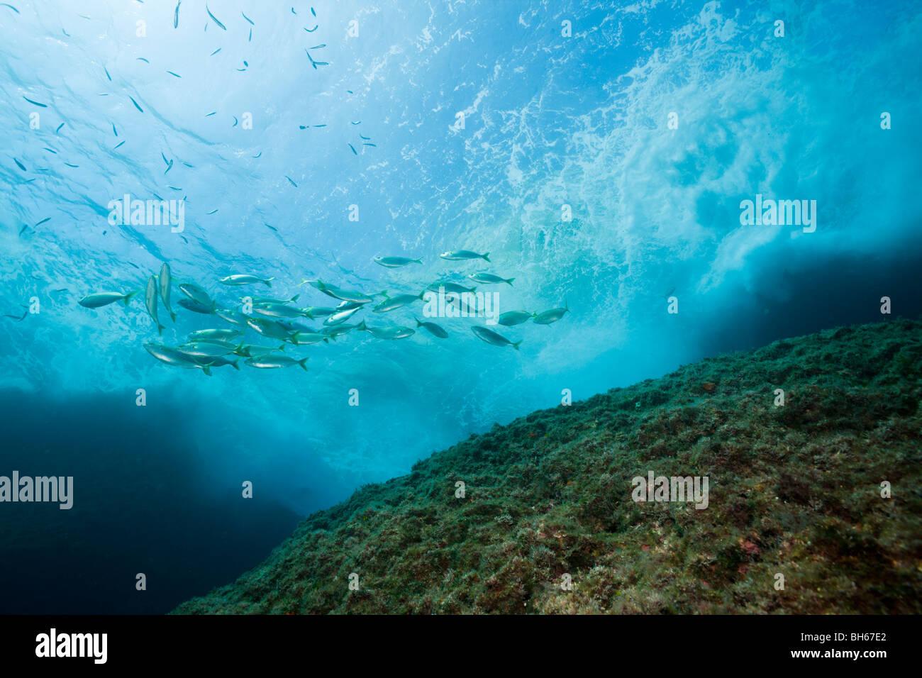 Shoal of Cow Breams, Sarpa salpa, Carall Bernat, Medes Islands, Costa Brava, Mediterranean Sea, Spain - Stock Image