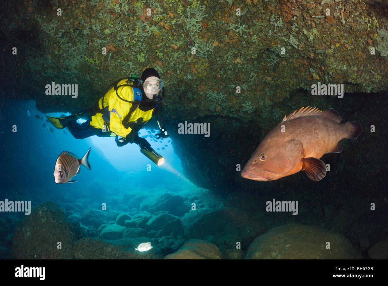 Scuba Diver and Dusky Grouper in Cave, Epinephelus marginatus, Dofi North, Medes Islands, Costa Brava, Mediterranean - Stock Image